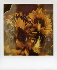 Flaming Sunflowers (tobysx70) Tags: polaroid sx70 timezero time zero tz expired instant film 0906 flaming sunflowers hollywood farmers market ivar selma avenue los angeles la california ca yellow orange flowers flames divot toby hancock photography
