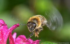 Macro Corvara 2016 (Massimo.Bracchi) Tags: macro macrophotography macrofotografia macrofotograph macrophotograph insetti fiori natura