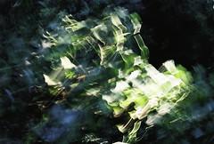 Lière électrique (Sarah Devaux) Tags: argentique silver floue électricité bois forêt wood vert extérieur charente barro feuilles leaves outoffocus lierre ivy abstrait