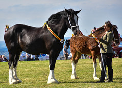 Horses judging (littlestschnauzer) Tags: horses horse heavy young foal adult emley show rural countryside agricultural west yorkshire uk event annual tourist attraction 2016 august summer large strong powerful strength beauty farm animals farming judging ring