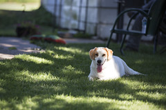 Hoyt2 (TaylorB90) Tags: taylor bennett taylorbennett canon 5d 5d3 7020028isii 70200 28 is ii 135l 135mm sharp golden retriever puppy goldenretriever goldenretrieverpuppy hank hoyt play cute animals puppies dogs farm