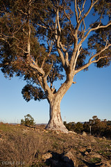 Isaacs Ridge gum tree (i-lenticularis) Tags: pentaxfa31f18 k1 gumtree australia canberra tree nature blue sky bluesky