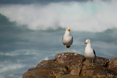 Kelp Gulls photographed in Cape Point, South Africa (Sumarie Slabber) Tags: kelpgulls capetown southafrica sumarieslabber birding bird birds sea seaside waves rocks landscape water