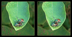 Come on Baby, Let's Fly 2 ! - Crosseye 3D (DarkOnus) Tags: pennsylvania buckscounty huawei mate8 cell phone 3d stereogram stereography stereo darkonus closeup macro insect popillia japonica mating japanese beetles come baby lets fly ttw crossview crosseye