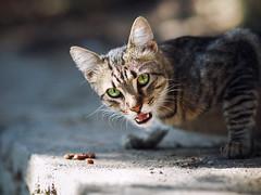 Street cat 168 (Yalitas) Tags: cat cats    kedi chat feline kat katze katzen kot kotka pet felino kottur katte kass kitty gato kocka gatta katzchen canon greeneyes greeneyed streetcat