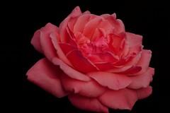 Blush (Alvin Harp) Tags: pinkrose macroflowers flowerart rose rosepetals nature naturesbeauty september 2016 saltlakecity utah sonyilce7rm2 teamsony sonya7rii fe24240mm alvinharp
