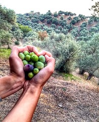 #love #olive #nature #oliveoil #natural (mutnefertari) Tags: olive natural oliveoil nature love