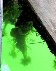 Underwater (diffuse) Tags: 16aug19 seaanemone wharf underwater saltwater green saltspring invertebrate 116