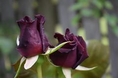 Black Roses (Bebopgirl1969) Tags: rose black crimson flower garden
