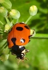 E con un po' di fortuna...... (esterinaeliseo1) Tags: allaperto animali natura macro coleottero coccinelle