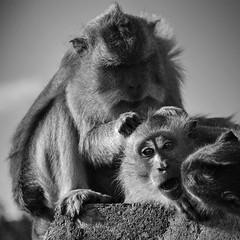 Monkey (Pillg) Tags: monkey singe nikon d7100 nb noir blanc black white uluwatu bali indonesia portrait animals animaux