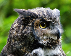 Great Horned Owl (gwhiteway) Tags: owl night face closeup see bird carnivorous brown carnivore feather feathered discovery old portrait hunter beak horned look predator great outdoors avian hunting nature raptor watching prey animal wildlife amber eyes