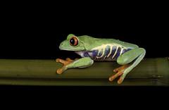Red eye (Val Saxby LRPS) Tags: agalychniscallidryas captivelight fall frogs macro pets redeye redeyetreefrog wildlife winter amphibians animals nature studio
