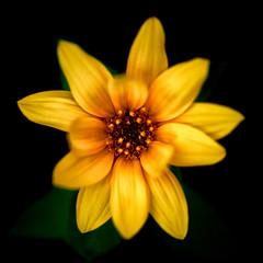 """Helianthus Annuus"" (helmet13) Tags: d800e raw flora sunflower helianthusannuus summer blossom yellow selectivefocus macro plant aoi heartaward peaceaward 100faves world100f"
