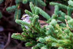 White-throated Sparrow, Bellevue Beach (frank.king2014) Tags: whitethroatedsparrow arnoldscove newfoundlandandlabrador canada ca