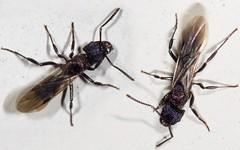 2010-07-29 ... Queen Green Ant (Brissy Girl - Jan Anderson) Tags: seqldaustralia ant wingedant queengreenant rhytidoponerametallica wingedgreenant familyformicidae orderhymenoptera
