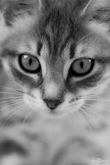 (--marcello--) Tags: portrait animals cat gatto nature closeup