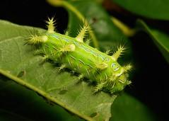 """Stinging Nettle Slug Caterpillar (Cup Moth, Phlossa sp., Limacodidae) """"Chameleon"""" (John Horstman (itchydogimages, SINOBUG)) Tags: insect macro china yunnan itchydogimages sinobug cup moth lepidoptera limacodidae stinging nettle slug caterpillar larva green chameleon"""