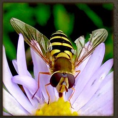 Hoverfly - This one looks like it's been in a fight! (frankhimself) Tags: photography macrophotography macro colours flower flowers flying cannon powershot insects bugs