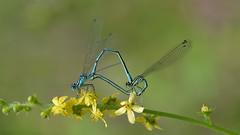 Handle with care (nyanc) Tags: macromondays handlewithcare nikon netherlands nature limburg macro mating wheel d5200 dragonfly color close