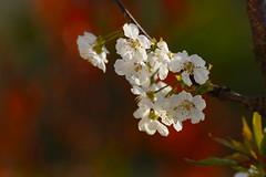 Cherry Blossom  -  Flores de Cerezo (Carlos... (limited activity / actividad limitada)) Tags: home casa flowers flores spring primavera ef300l canon dslr 5dmk3