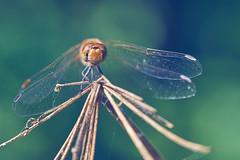 libellule (Hexilene) Tags: dragonfly dreams d750 sigma nikon nikonpassion nature nikond750 insecte macro macrodreams lumire blueribbon bokey libellule