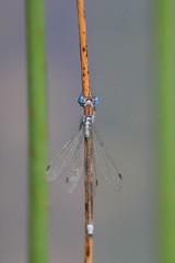 Blue-tailed damselfly 2 (Jo Rawson!) Tags: damselflies pottericcarr yorkshire yorkshirewildlifetrust nature pottericcarrnaturereserve