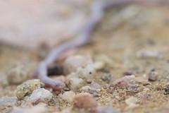 Thread Snake (Leptotyphlopidae species) (piazzi1969) Tags: angola africa afrika wildlife canon eos 5d markiii ef100mm threadsnake snakes reptiles reptilien herps forkedtongue leptotyphlopidae