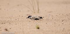 River Lapwing (asheshr) Tags: bird birds birdsofindia birdsofmahanadi birdsofodisha birdsoforissa lapwing odisha orissa riverlapwing
