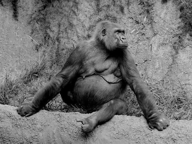 Gorilla Portrait - Darker Version