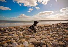 Beach Dog (Photo Gal 2009) Tags: sea dog wales clouds seaside sand westwales bluesky canine pebbles spaniel cocker cockerspaniel amroth lue blueroan englishcockerspaniel blackwhitedog welshresort cockerboy highqualitydogs highqualityanimals westwalesseaside