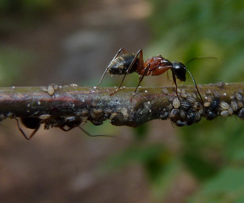 Red Carpenter Ants