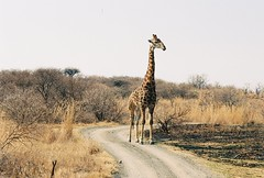 (KING ODEN) Tags: africa game 35mm canon private king ae1 south reserve hills safari giraffe citizen ladysmith global oden tesh nambiti