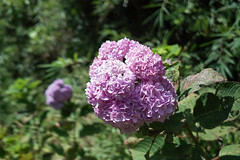Now blooming with seasonal (shinichiro*) Tags: flower macro japan sigma  kanagawa crazyshin 2012 foveon    sigmadp2 20090101sdim9260