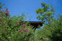 Fall of the temple (shinichiro*) Tags: autumn flower macro fall japan kamakura sigma september kanagawa crazyshin 2012 foveon  dp2 bushclover    sigmadp2 20120913sdim9435