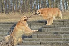 DSC_1695 - Version 2 (Janet Ayton) Tags: sunset dog pet playing canada animal goldenretriever golden spring nikon retriever alberta hooper brody tugofwar grandeprairie nikkorlens ©allrightsreserved d7000 nikond7000