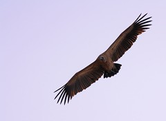White backed Vulture (Gyps africanus) (Mvubux) Tags: africa wild nature animals southafrica wildlife free safari wildanimal wildanimals gypsafricanus africansafariafrica