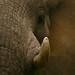 Elefantes enormes