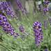 Lavanda nana (Lavandula angustifolia var. Hidcote blue)