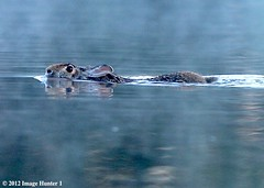 Wild Rabbit Swimming - Bayou Courtableau, Louisiana (Image Hunter 1) Tags: morning wild mist rabbit nature water fog swimming swim louisiana kayak crossing bayou kayaking swamp marsh ripples canoneos7d bayoucourtableau