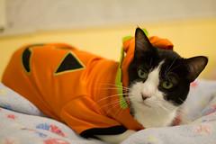 Marshall Fields (Save-A-Pet Adoption Center) Tags: holiday halloween senior female cat blackwhite marshallfields 2012 returned saveapet