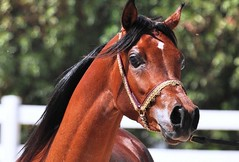 Super Arabian Horse (Ahmed Ahw) Tags: topshots photosandcalendar natureselegantshots panoramafotogrfico theoriginalgoldseal flickrsportal rememberthatmomentlevel1 magicmomentsinyourlifelevel1