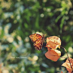 Close to you... (lizbeth ) Tags: orange closeup butterfly bokeh september depthoffield mariposa closetoyou monarca fotgrafasfemalephotographers ideasdenviembre