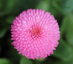 'Daisy' (ppaulinesm) Tags: pink flowers flower macro nature gardens canon garden flora oz australia 100mm qld queensland botanic dslr magnoliophyta angiosperm 600d fantasticflower diamondclassphotographer flickrdiamond worldflowers 100mmf28lmacro hennysgardens
