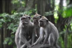 Three Sacred Monkeys  [ Explored} (The Spirit of the World) Tags: bali nature indonesia wildlife monkeys ubud sacredmonkeyforest thegalaxy allnaturesparadise allofnatureswildlifelevel1 rememberthatmomentlevel1 rememberthatmomentlevel2