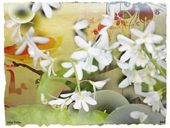 White Petrea (PaulO Classic. ) Tags: canon textures petrea petria eos450d umkomaas picmonkey