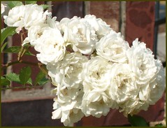 The Ant and White Roses (David_Cartwright's_Life) Tags: flowers roses white flower rose garden ant jardin