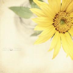 somewhere (silviaON) Tags: flower indoor september sunflower vase ie textured 2012 helianthus memoriesbook bsactions pioneerwomanactions artistictreasurechest oracope magicunicornverybest kimklassentextures fecontest