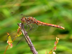 Vagrant Darter (male) (Marrrcelll) Tags: dragonfly meijendel sympetrumvulgatum steenrodeheidelibel vagrantdarter marrrcelll