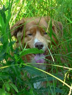 panting dog 1